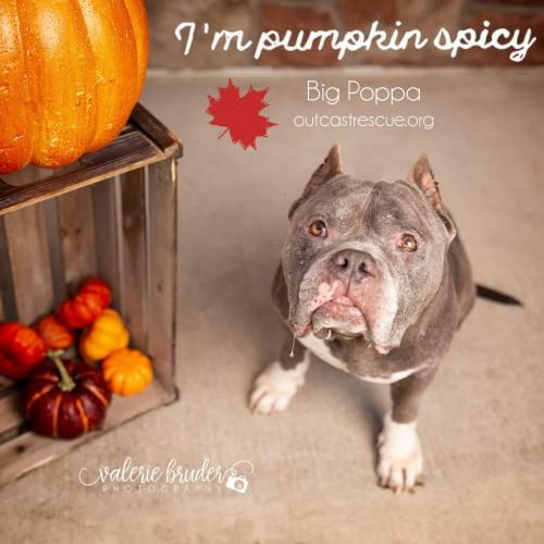 Big Poppa, an adoptable Pit Bull Terrier Mix in Catasauqua, PA