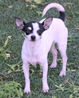 Tobo, an adoptable Chihuahua Mix in Loxahatchee, FL