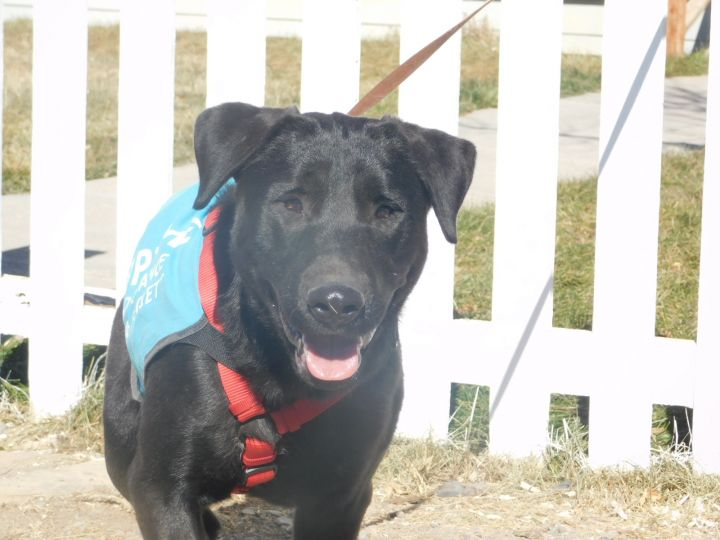 Buddy, an adopted Labrador Retriever in Ridgway, CO