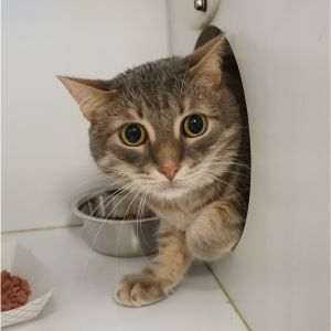 Boo is a shy male silver tabby with some brown shading He came to Buddy as a ki