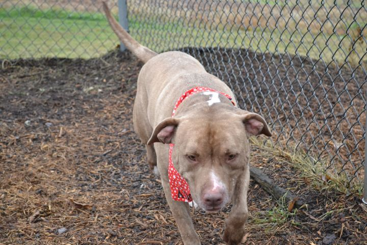 Coco, an adoptable Mastiff & Pit Bull Terrier Mix in Dillsburg, PA
