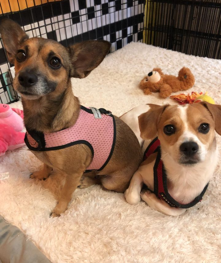 Tony, an adoptable Chihuahua Mix in Boca Raton, FL