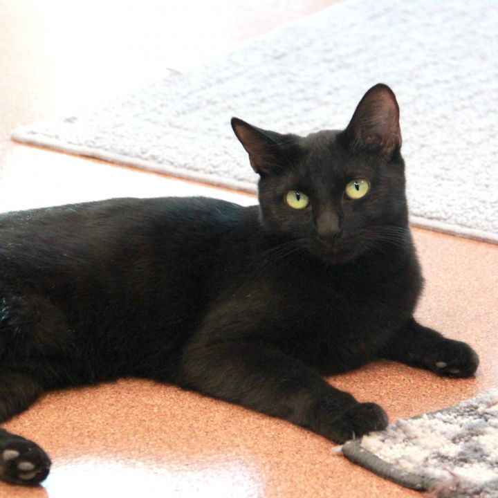 Scarlet, an adoptable Domestic Short Hair in Clovis, CA