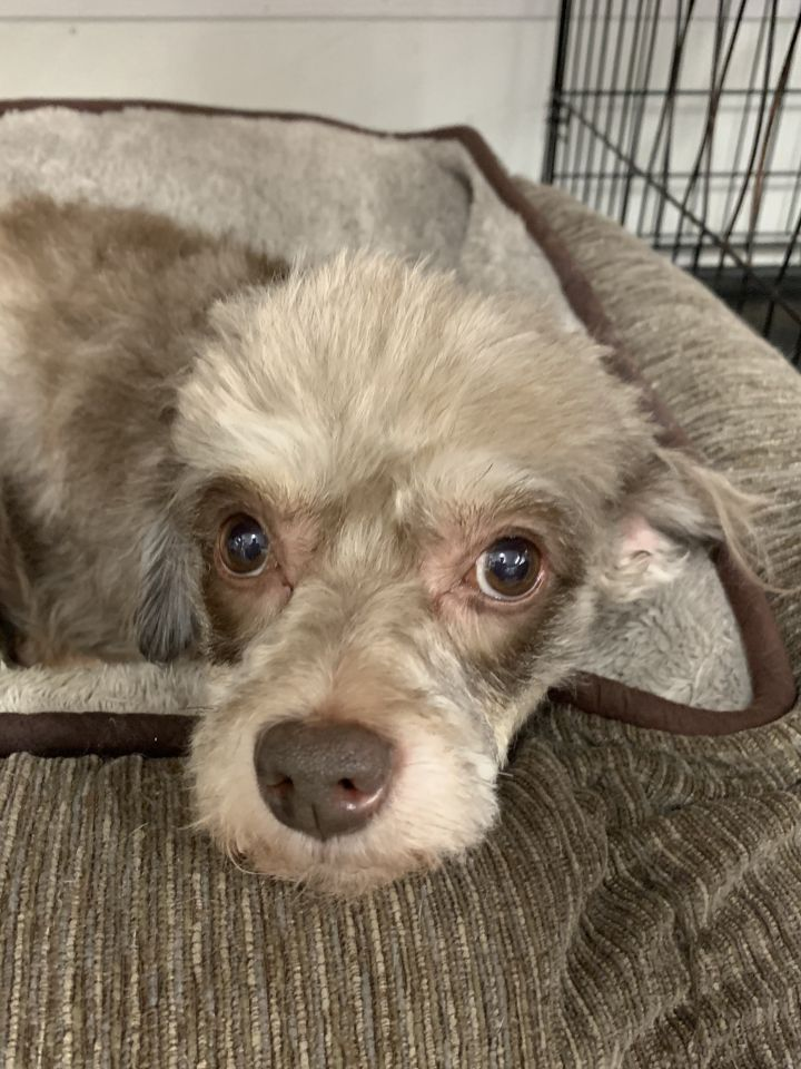 Sophie, an adopted Poodle Mix in Richmond, VA