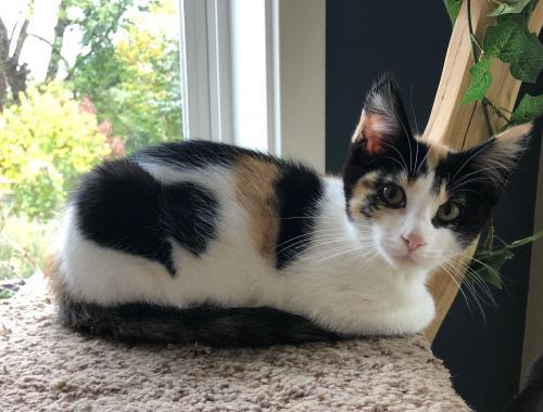Koosah, an adopted Calico & Domestic Short Hair Mix in Springfield, OR