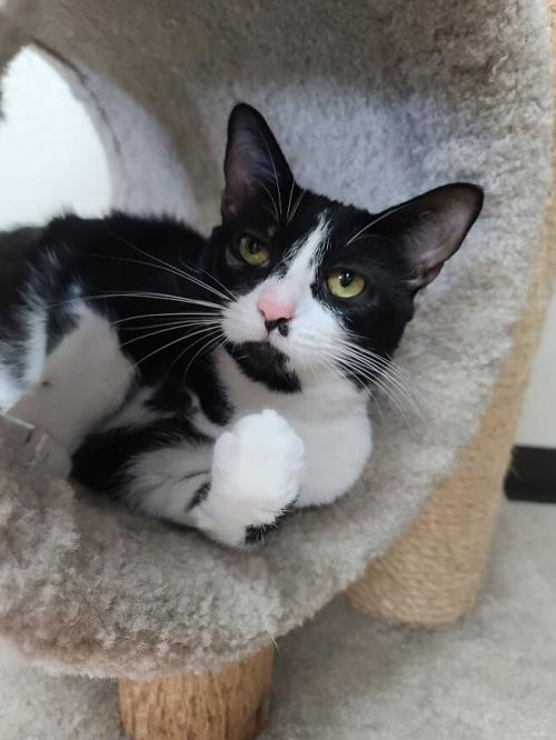 Marquette, an adoptable Tuxedo & Domestic Short Hair Mix in Monroe, MI