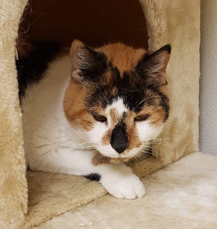 Taffy, an adoptable Calico & Domestic Short Hair Mix in New Rochelle, NY