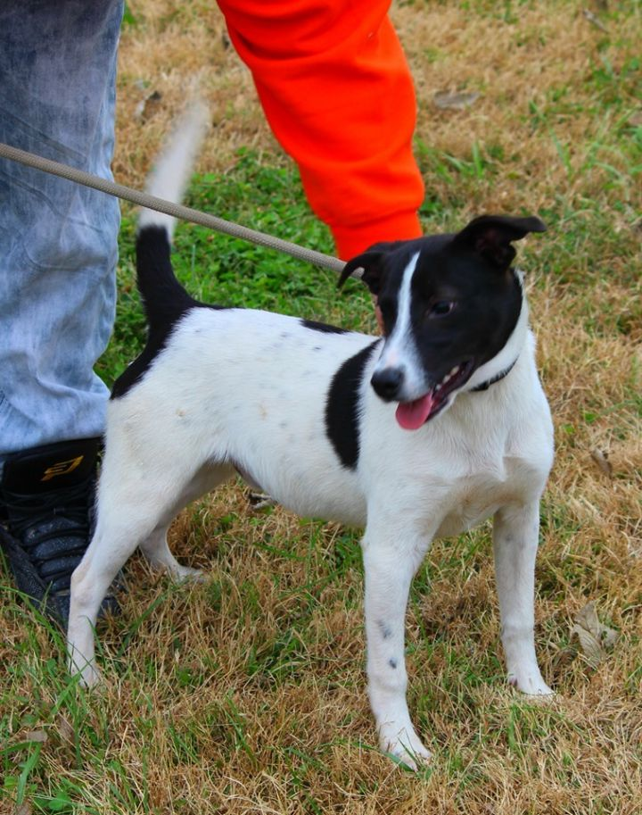 Xander, an adopted Terrier Mix in Cynthiana, KY