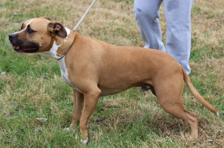 Cullen, an adoptable Boxer Mix in Cynthiana, KY