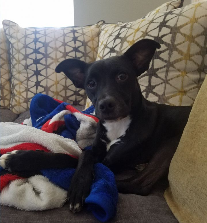 Sleepy, an adoptable Terrier Mix in San Antonio, TX