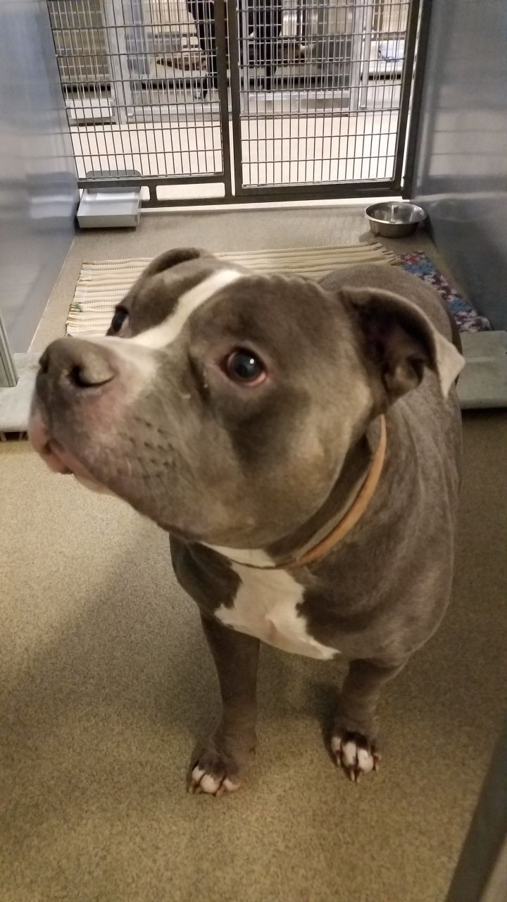 Ox, an adopted Pit Bull Terrier in Blair, NE