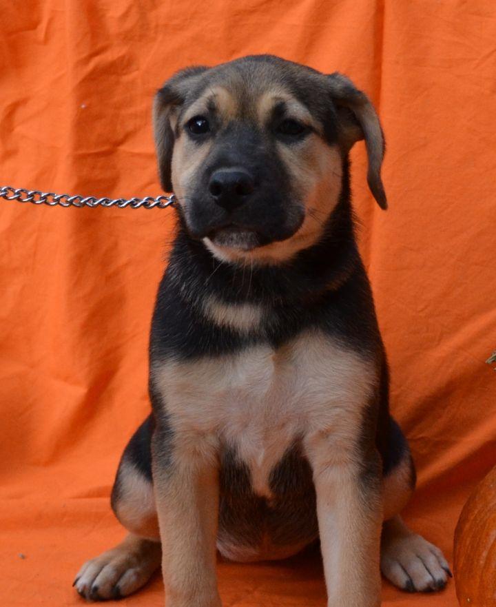 Dog for adoption - Reba, a German Shepherd Dog & Golden