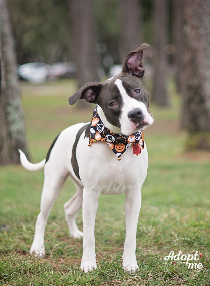 Arabella, an adopted American Staffordshire Terrier & Hound Mix in Kingwood, TX