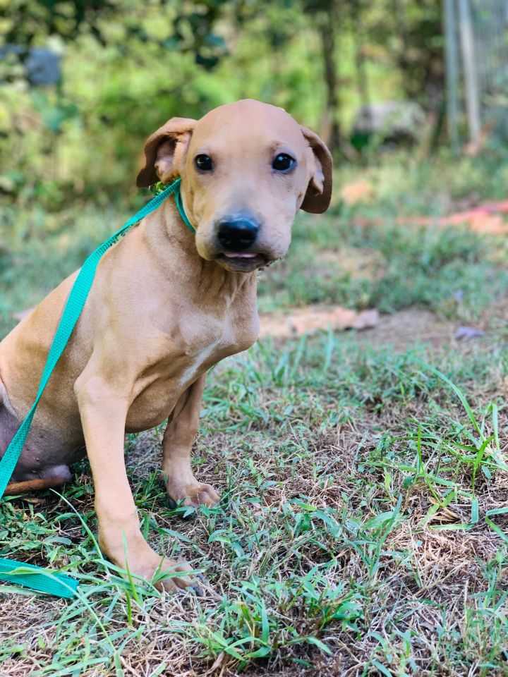 Shaw, an adopted Shar-Pei & Hound Mix in Southbury, CT