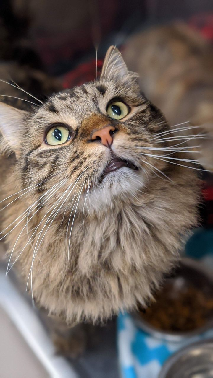 Rajah, an adoptable Domestic Short Hair Mix in Appleton, WI