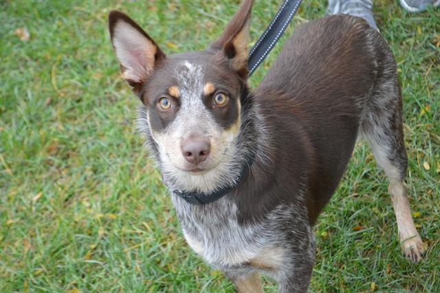 Dog for adoption - SISSY, an Australian Cattle Dog / Blue ...