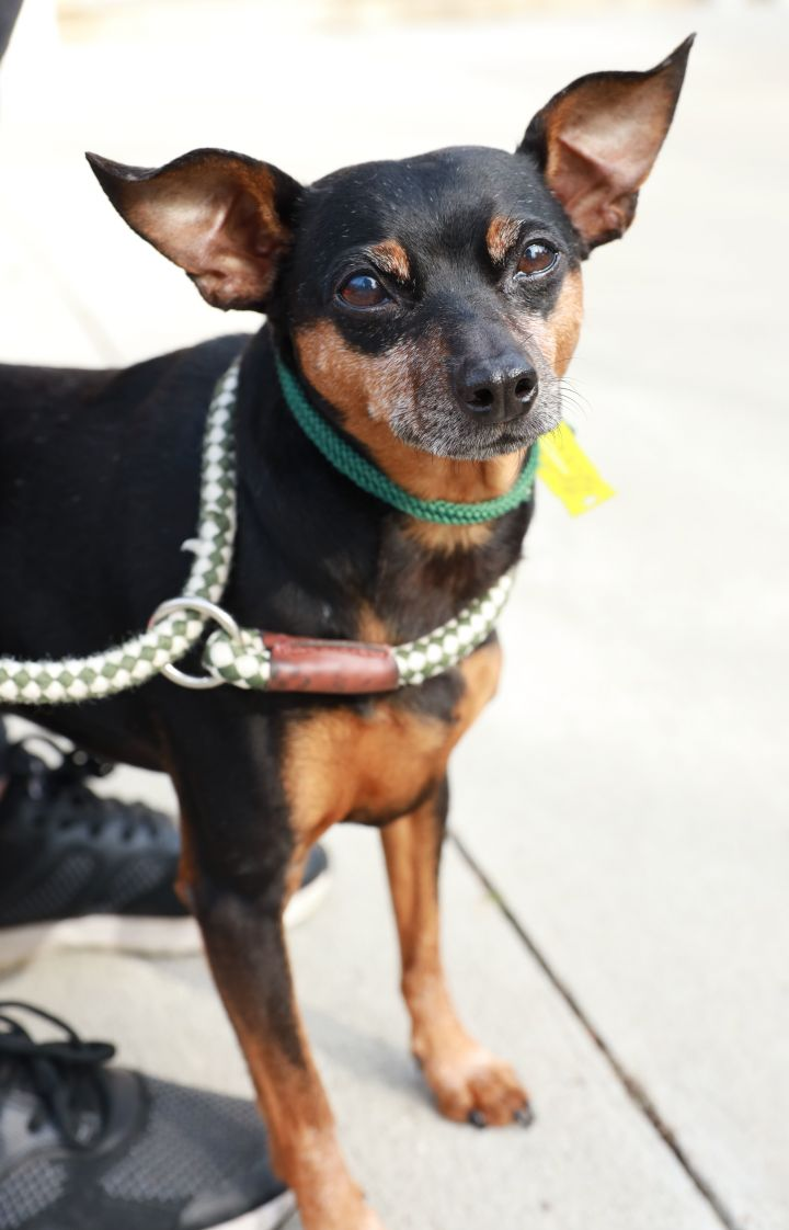 Peter, an adoptable Miniature Pinscher Mix in Naperville, IL