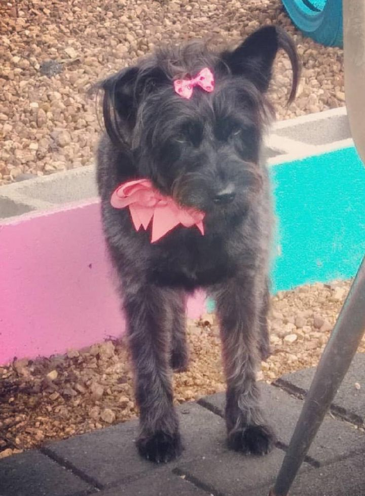 Coffee, an adoptable Schnauzer Mix in Dallas, TX