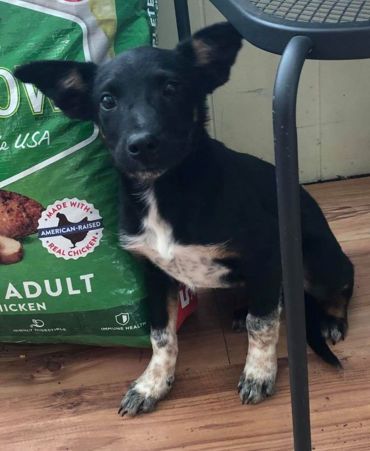 Bo, an adopted Mixed Breed in Northwood, NH
