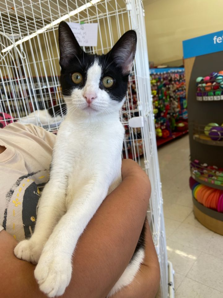 Diamond, an adopted Domestic Short Hair in Fountain Valley, CA