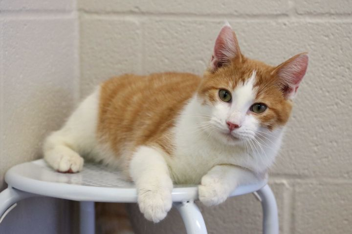 Kris, an adoptable Domestic Short Hair Mix in Carencro, LA