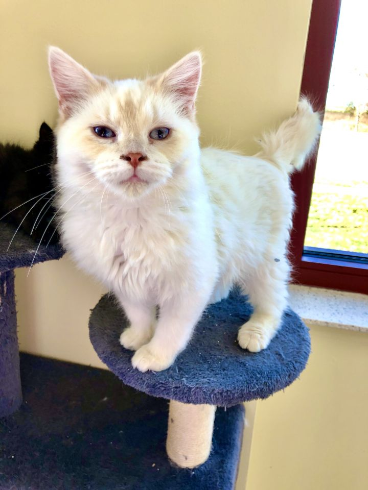 Aspen, an adopted Domestic Medium Hair in Madison, WI