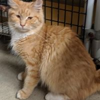 Fluffy, an adopted Domestic Long Hair in Black River Falls, WI