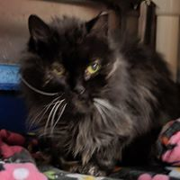 Midnight, an adopted Domestic Long Hair in Black River Falls, WI