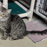 Crazy, an adopted Domestic Long Hair in Black River Falls, WI
