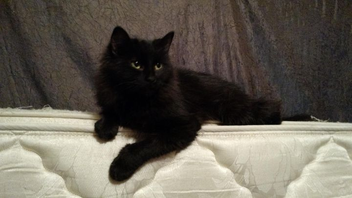 Gypsy, an adoptable Domestic Long Hair in Waverly, IA