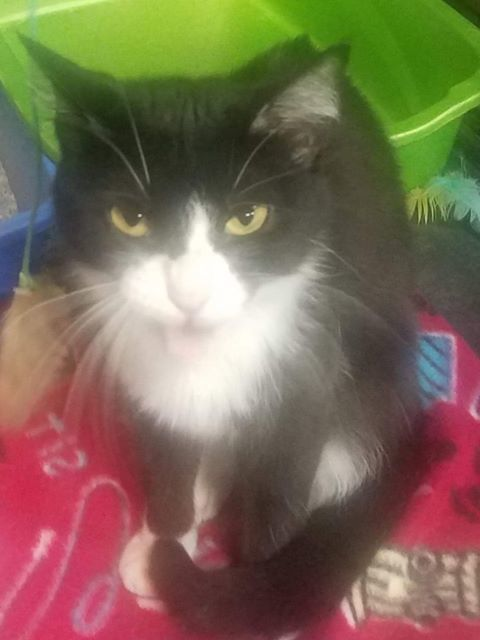 Selena, an adoptable Tuxedo & Domestic Short Hair Mix in Waverly, IA