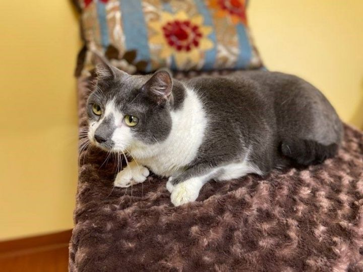 Wonder Woman, an adoptable Extra-Toes Cat / Hemingway Polydactyl & Domestic Short Hair Mix in Waverly, IA