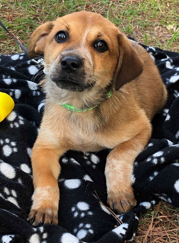 Braxton, an adoptable Mixed Breed in Northwood, NH