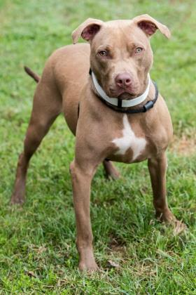 Ember, an adoptable American Bulldog Mix in Loxahatchee, FL