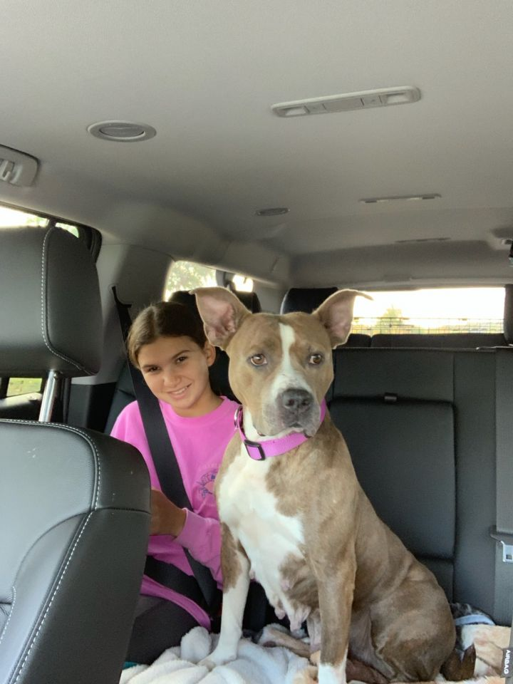 Ella, an adoptable American Staffordshire Terrier in Ewing, NJ