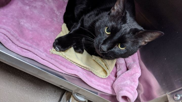 Walnut, an adoptable Domestic Short Hair in Appleton, WI