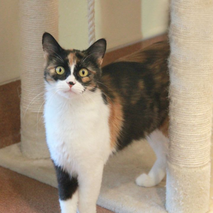 Alana, an adopted Domestic Short Hair & Calico Mix in Clovis, CA