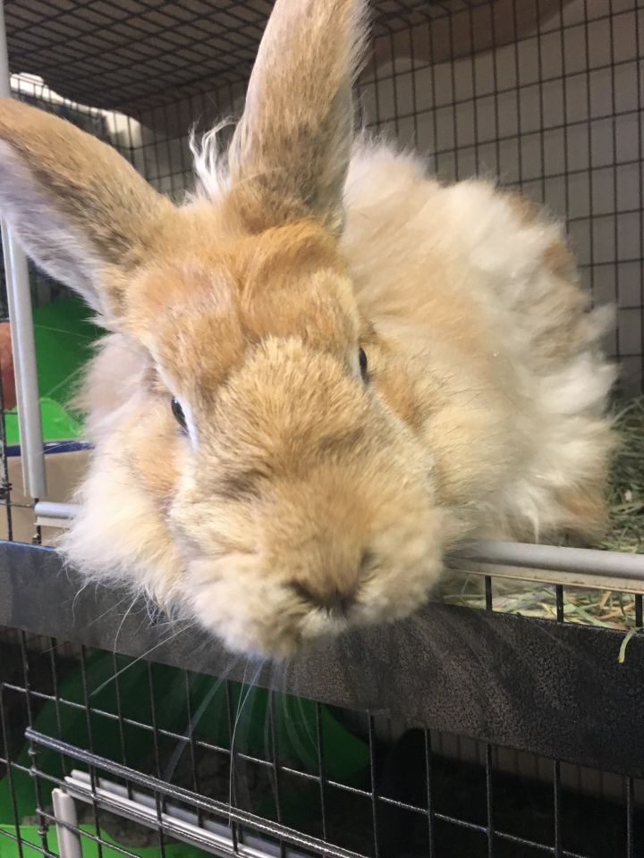 Edward, an adoptable Angora Rabbit & Satin Mix in Bellingham, WA