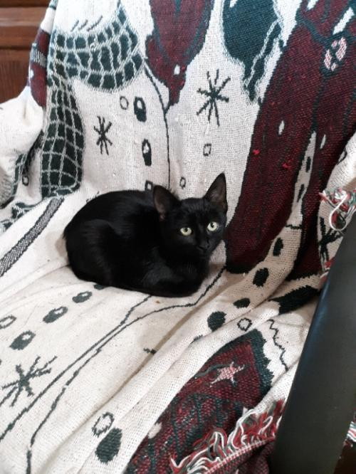Trisket, an adoptable Domestic Short Hair in Waseca, MN