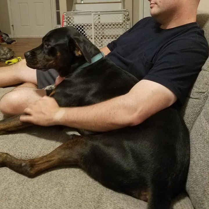 Toby, an adoptable Rottweiler & Hound Mix in Manhattan, KS