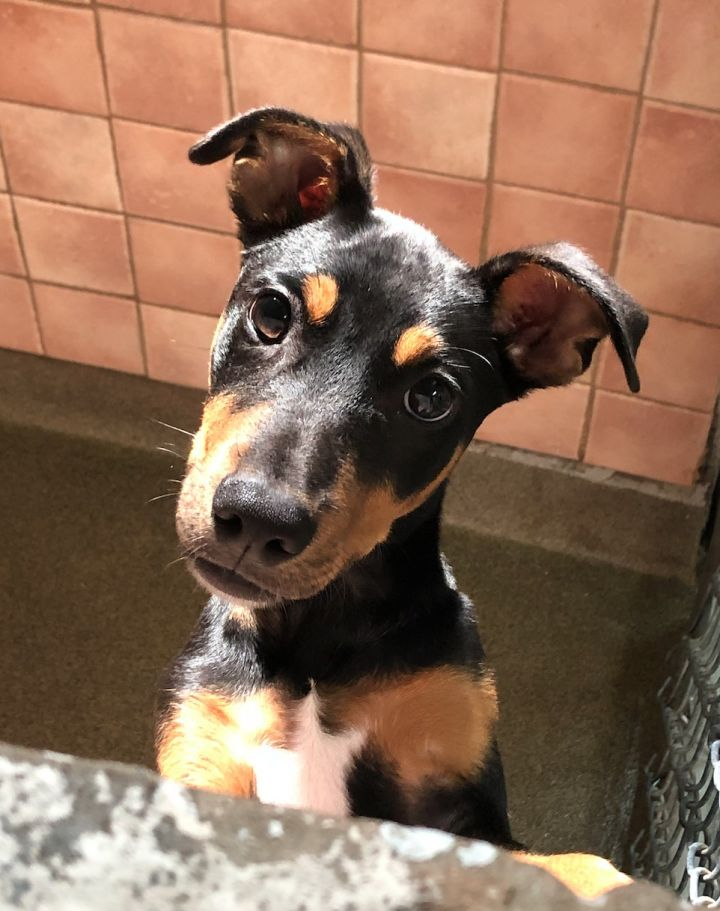 Jack, an adopted Manchester Terrier in Boca Raton, FL