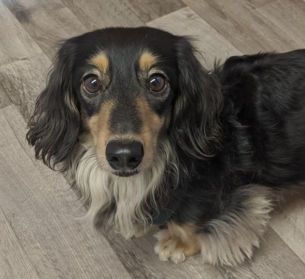Noble*ADOPTION*PENDING, an adoptable Dachshund in Waverly, IA
