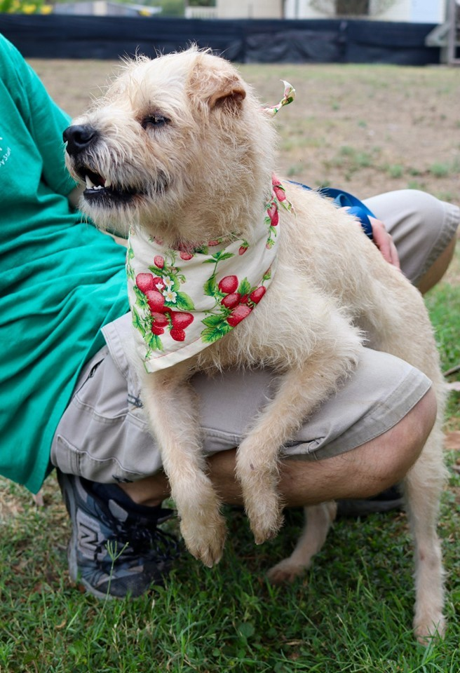 Jen Jen JuM, an adopted Terrier & Poodle Mix in Von Ormy, TX