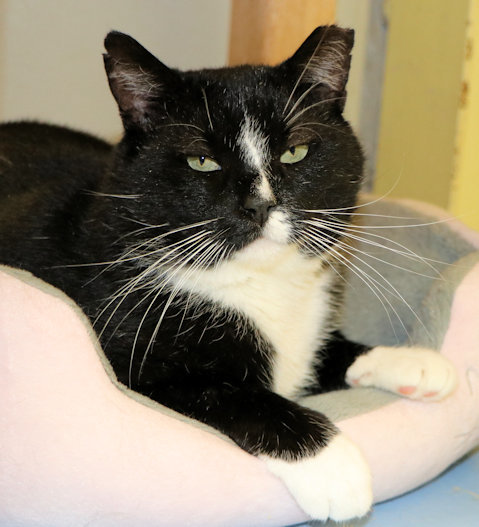 Sylvester, an adoptable Domestic Short Hair in Cincinnati, OH