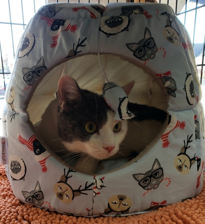 Shane, an adopted Domestic Short Hair Mix in Reston, VA