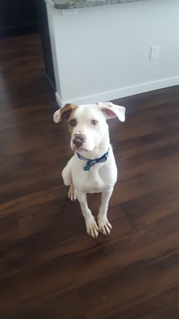 Atlas, an adoptable Pit Bull Terrier Mix in Eagle, ID