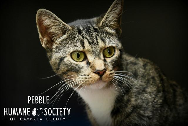 Pebble, an adoptable Domestic Short Hair in Johnstown, PA