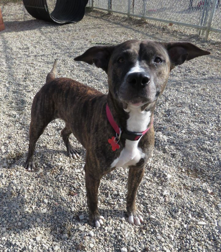 Selena, an adoptable Pit Bull Terrier in Allegan, MI