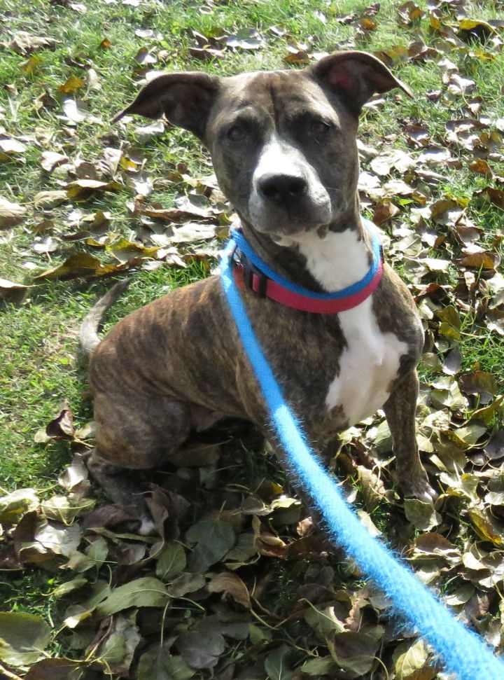 Selena, an adopted Pit Bull Terrier in Allegan, MI
