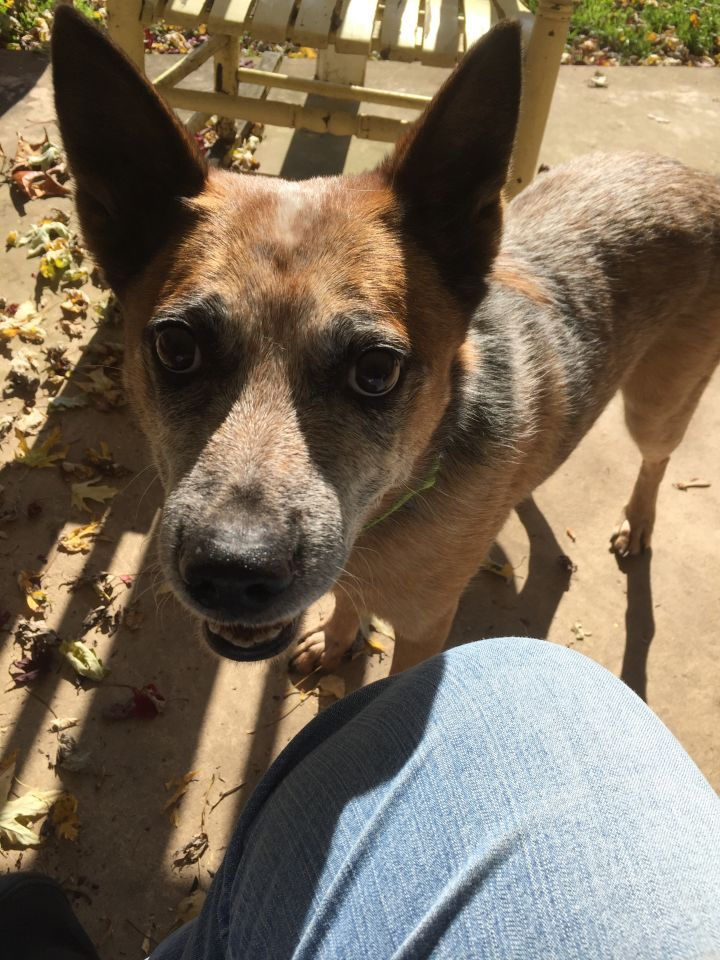 Riggs, an adoptable Australian Cattle Dog / Blue Heeler in South Williamsport, PA